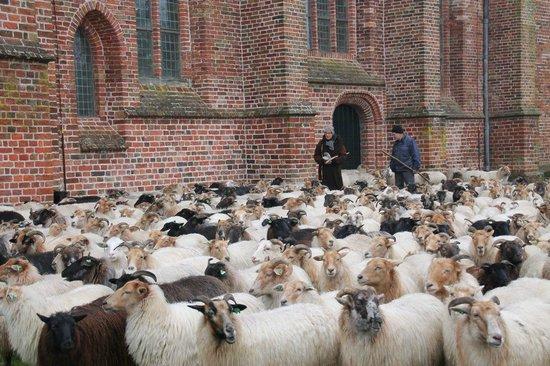Jacobuskerk: The sheep herd of Balloo surrounding the church