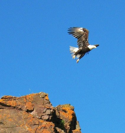 Advocate Harbour, Canadá: Eagle takes off from cliff tops