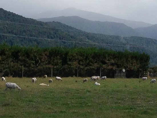 Blue Mountain Cottages/Lodge: Our sheep with Mt Luxmore in the background.