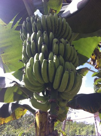 Quintana Roo National Park Campground & Hiking : bananas -- will be ready soon!