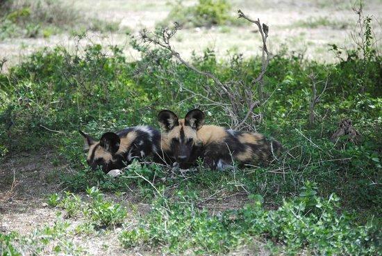 Alex Walker's Serian: wild dogs