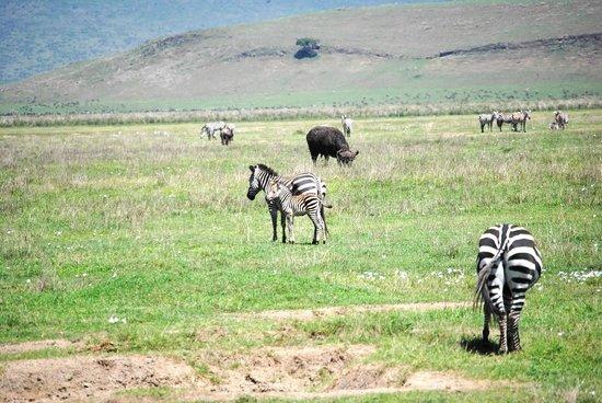 Alex Walker's Serian: zebra mom and colt