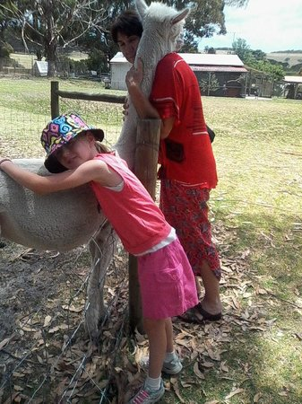 Albany Bird Park and Marron Farm: The affectionate Alpaca