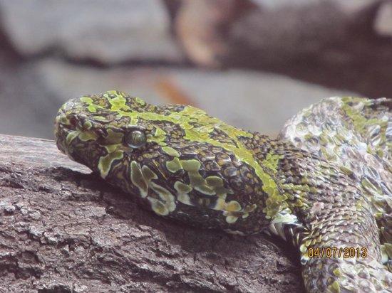 San Diego Zoo: Mossy Snake