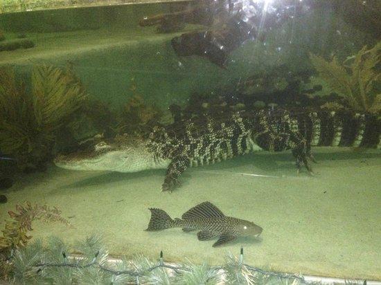 Lucie the alligator in her indoor aquarium picture of for Clark s fish camp seafood restaurant