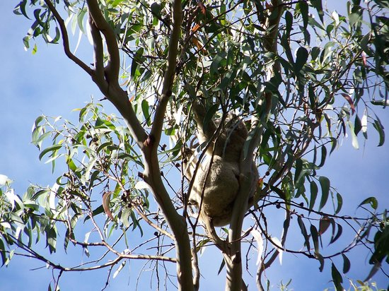 Phillip Island Nature Parks - Koala Conservation Centre: top of tree
