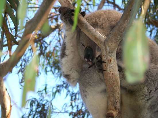 Phillip Island Nature Parks - Koala Conservation Centre: only one we found at top of tree other than boardwalk