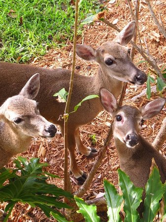 Little Palm Island Resort & Spa, A Noble House Resort: Key Deer below our balcony at breakfast