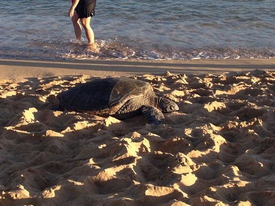 Sheraton Kauai Resort: We saw turtles and monk seals, right on our beach!