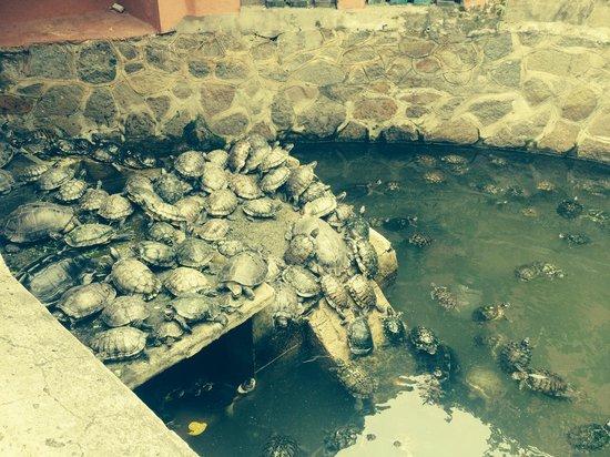 Emperor Jade Pagoda (Chua Ngoc Hoang or Phuoc Hai Tu): Turtles at the Jade Pagoda