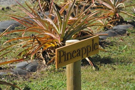 Maui Pineapple Plantation Tour Review