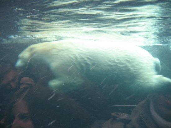 Copenhagen Zoo: L'Orso Nuotatore