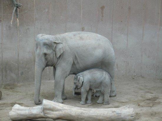 Copenhagen Zoo: Elefantessa con Elefantino