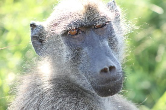 Tydon Safari Camp: Baboon