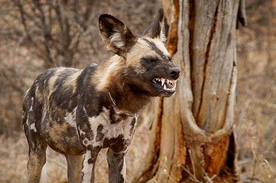 Buffalo Ridge Lodge: The wild dogs!!! Cute and cuddly until they do this :)