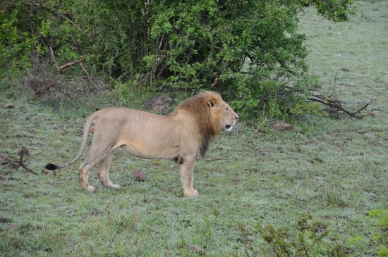 Porini Mara Camp : Lots of Lion