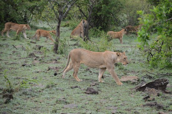 Porini Mara Camp : A pride of ~30 lions we watched all morning