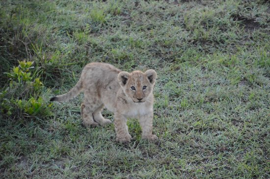 Porini Lion Camp : cutie