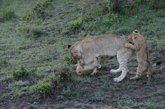 Porini Lion Camp : cubs playing