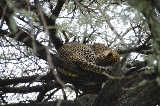 Porini Lion Camp : leopard