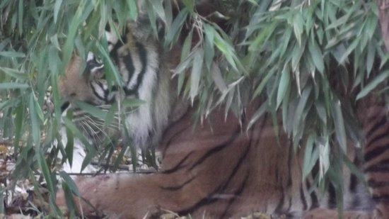 Safari Zoo: Hiding Tiger