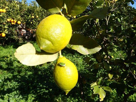 Agriturismo Bergi: limoni