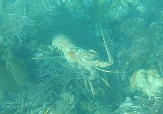 Isla Marisol Resort : lobster