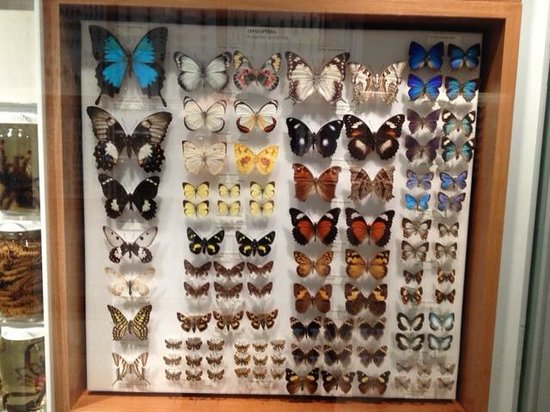 Melbourne Museum: Butterfly Specimens
