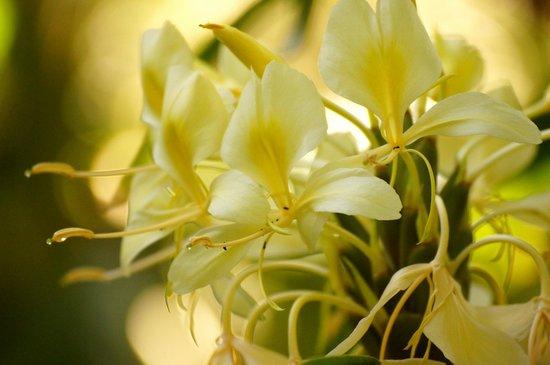 Hike Maui : ginger flowers