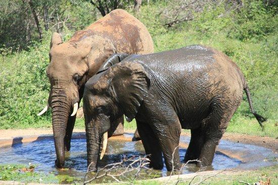 Casart Game Lodge: Les éléphants vus de la piscine