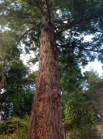 Inverness Secret Garden Cottage : A giant redwood grows beautifully in the side garden of the cottage.