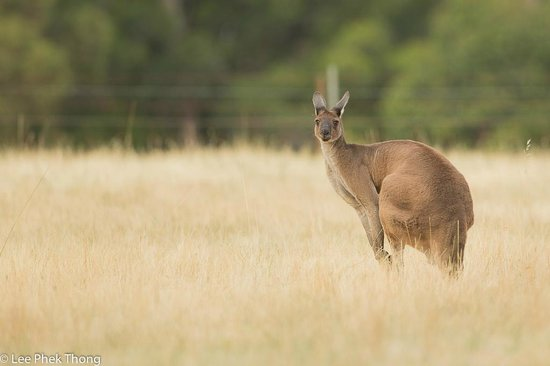 Forest Lodge Resort : Early mornings we found Kangaroos roaming in the fields nearby