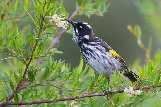 Forest Lodge Resort: New Holland Honeyeaters can be found everywhere