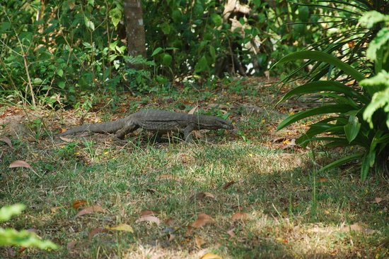 Coconut Island Cabanas and Restaurant : Monitor lizards (not dangerous and shy)