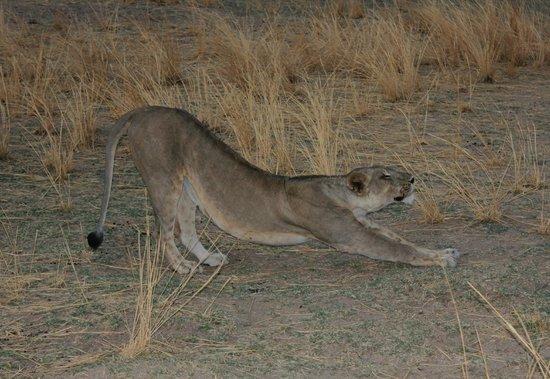 Marula Lodge : Lions