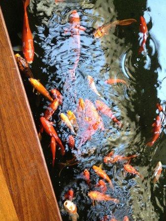Mauna Lani Bay Hotel & Bungalows: more koi