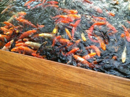 Mauna Lani Bay Hotel & Bungalows : Koi wanting to be fed