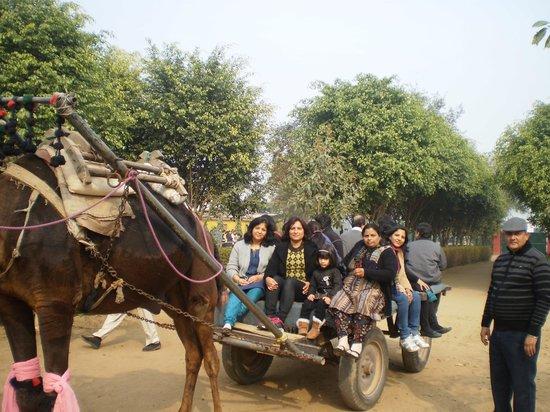 Camp Tikkling : The camel cart for all