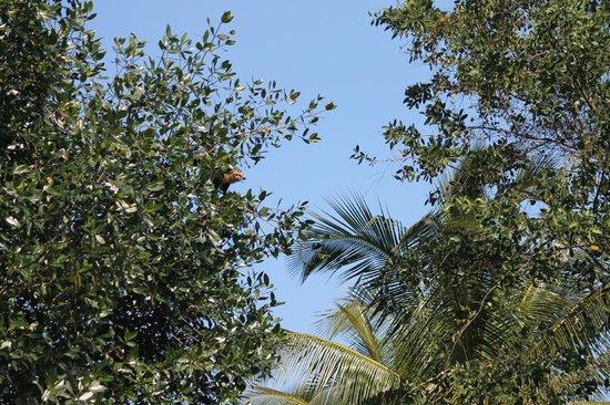 Coco Tours Honduras: Mono preparando el salto