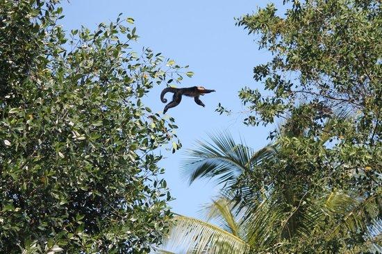 Coco Tours Honduras: Mono saltando entre los arboles