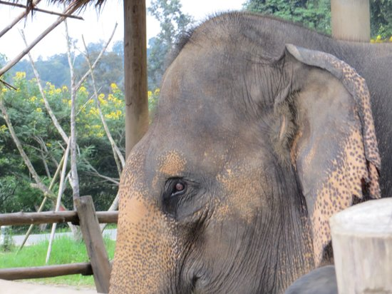 Thai Elephant Conservation Center : The eyes say PTSD ,givin up