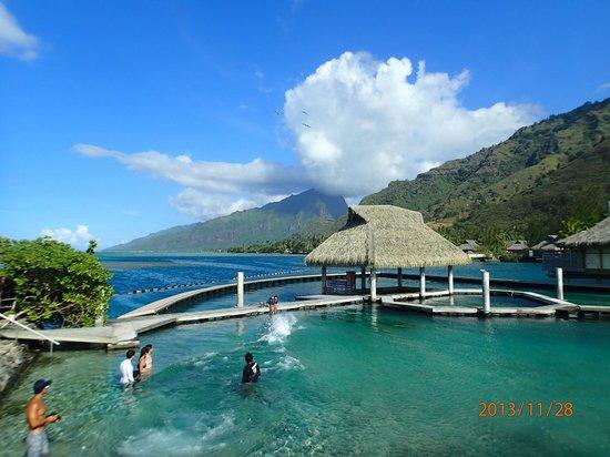 InterContinental Moorea Resort & Spa: Дельфинарий!