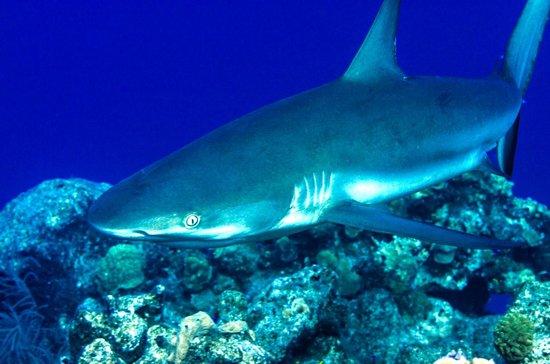 Club Med Columbus Isle: reef shark
