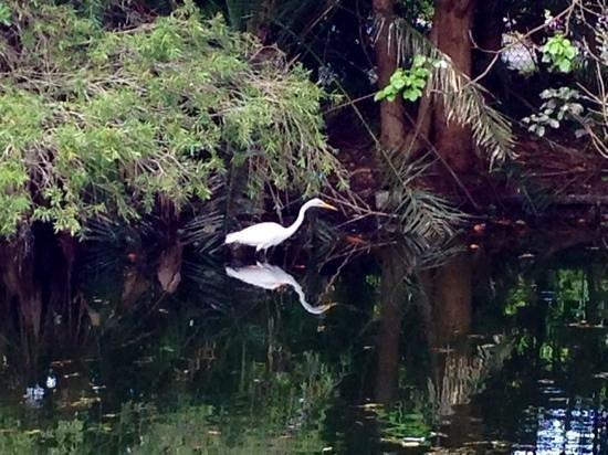 Flamingo Gardens: egret