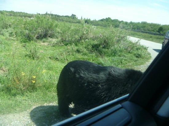 Réserve Africaine de Sigean : это настоящий медведь о нашу машину чешется
