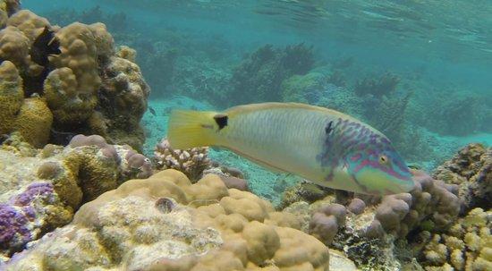 Hotel Atiapiti: Les poissons du lagon a 40 m de la plage.