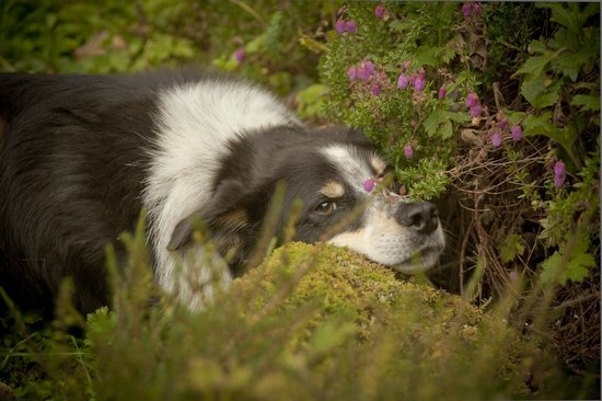"The Anglers Return: The friendly sheep dog ""Bonnie"" - your garden tour guide"
