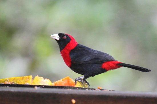 Crystal Paradise Resort: Crimson-collared Tanager
