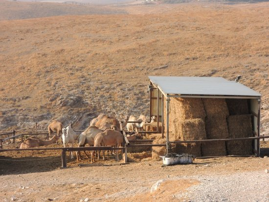 Genesis Land: camel stable