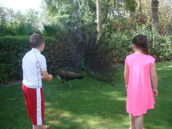 JA Jebel Ali Beach Hotel: peacock